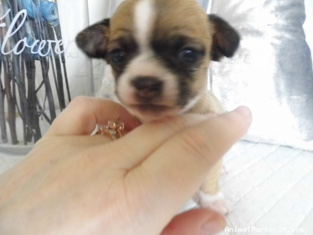 Very Beautiful Chihuahua Puppies For Sale Aed 5 500 00