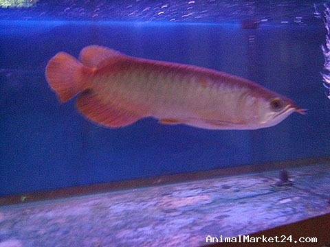golden and red arowana fish for sale aed 1