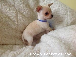 Mini teacup chihuahua puppies, AED 5,500 00